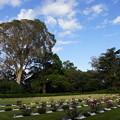 写真: ユーカリと墓地
