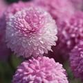 写真: ピンクの菊