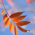 紅葉した葉