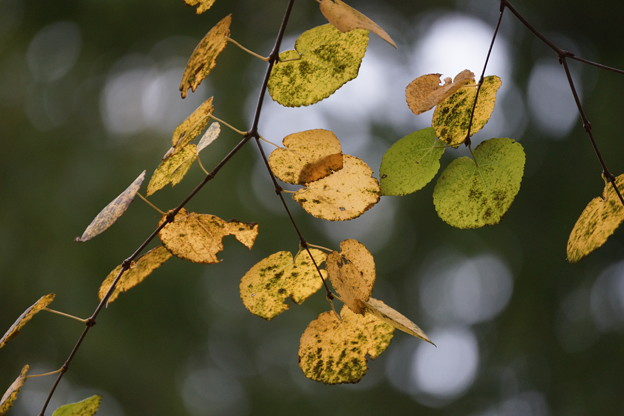 Photos: 桂の葉