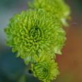 Photos: 菊の花