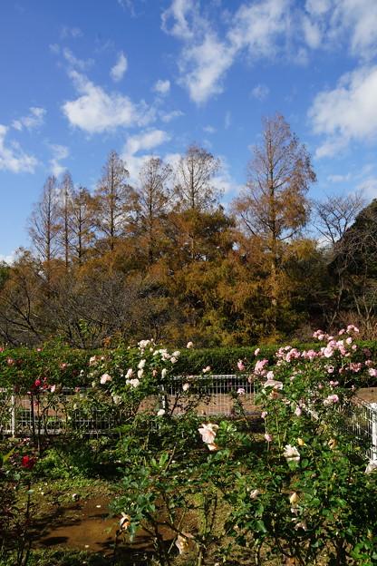 薔薇とセコイア