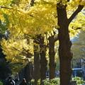 山下公園の銀杏