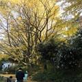 Photos: 画家とイチョウ