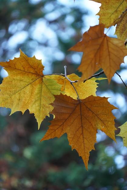 プラタナスの葉