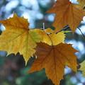 Photos: プラタナスの葉