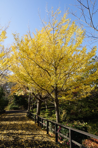 Photos: 銀杏の散歩道