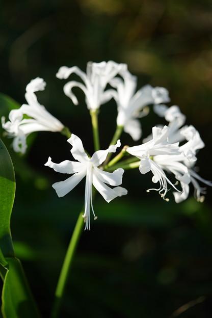 白いリコリス