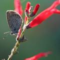 パイナップルセージと蝶