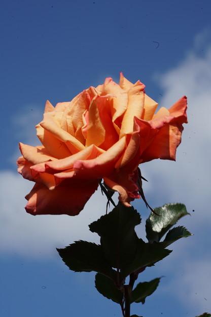 Photos: 青空と薔薇