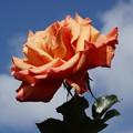 青空と薔薇