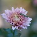 Photos: 菊と虫