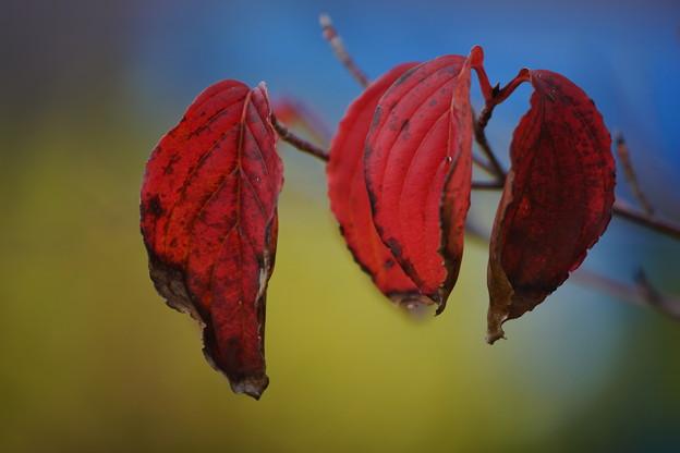 ハナミズキの葉