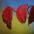 Photos: ハナミズキの葉