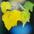 Photos: 黄色い葉