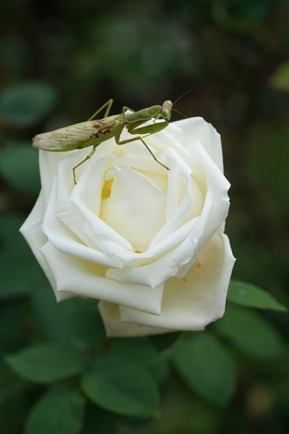 薔薇と蟷螂