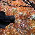 Photos: 寺のモミジ