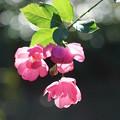 Photos: 逆光の薔薇