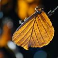 Photos: シナマンサクの葉