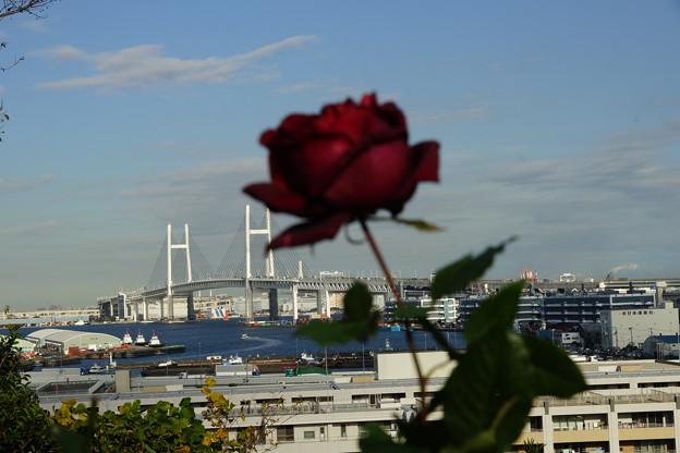 薔薇とベイブリッジ