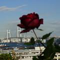写真: 薔薇とベイブリッジ