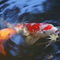 枯れ葉と鯉