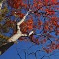 Photos: 紅葉したハゼノキ