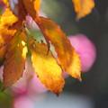 コナラの葉