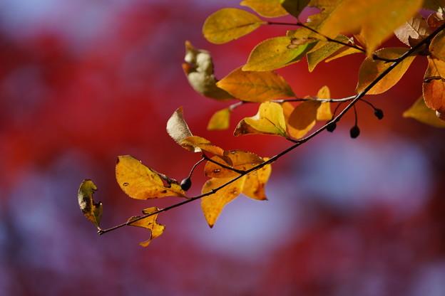 カマツカの葉