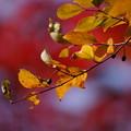 写真: カマツカの葉