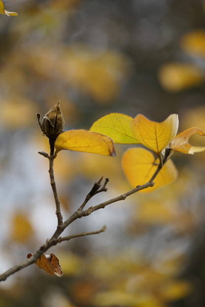 ハマボウの種と葉