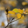 Photos: ハマボウの種と葉