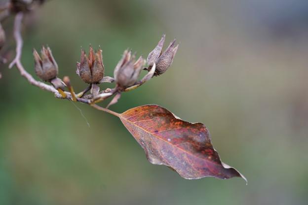 ヒメシャラの種と葉
