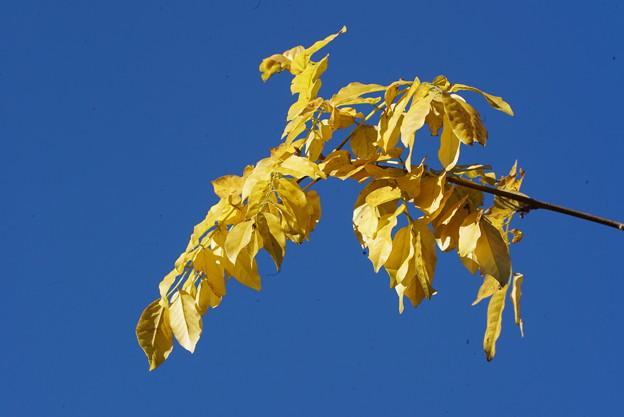 ヤマフジの葉