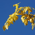 Photos: ヤマフジの葉