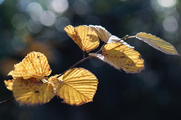 Photos: 木蓮の葉