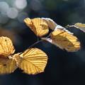 写真: 木蓮の葉