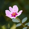 Photos: ピンクの薔薇