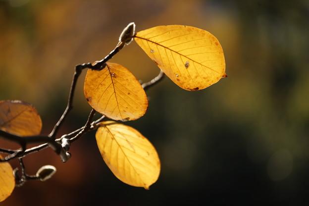 木蓮の葉と蕾