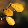 Photos: 木蓮の葉と蕾