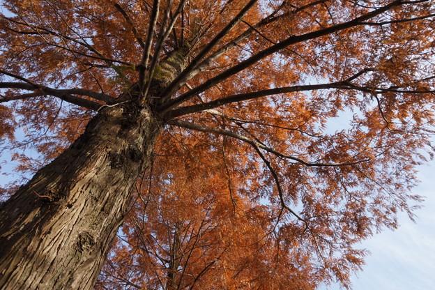 メタセコイアの巨木