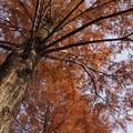 Photos: メタセコイアの巨木