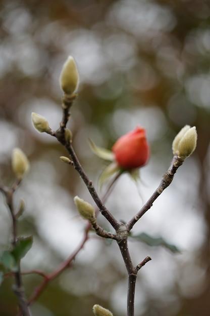 木蓮と薔薇