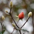 Photos: 木蓮と薔薇