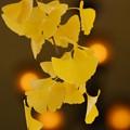 写真: 銀杏の葉