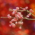 写真: マユミの種