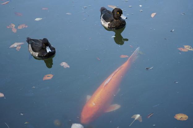 Photos: 鯉とキンクロハジロ