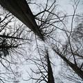 Photos: 冬のメタセコイア