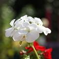 Photos: 白いゼラニウム