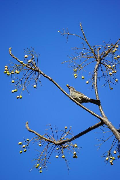 センダンの実食べるヒヨドリ